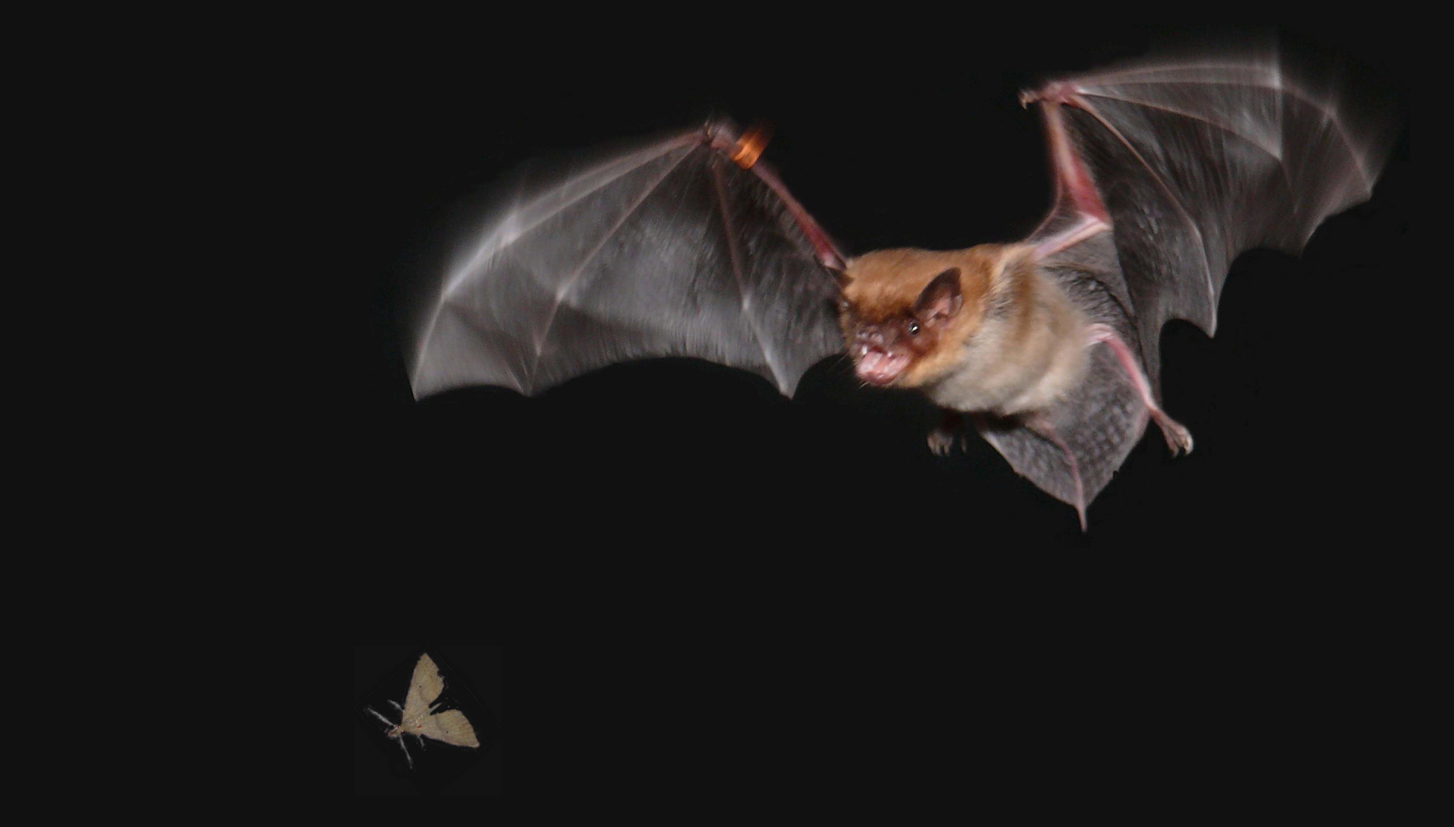צד בחשכה. עטלף מתכונן ללכוד חרק (צילום: בן פאלק)