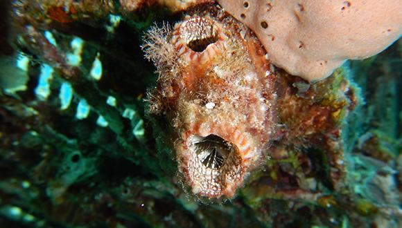 אצטלן מהמין Polycarpa mytiligera (צילום: טל זקין)
