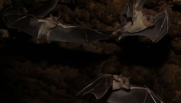 שלושה עטלפי פירות עוזבים את המערה (צילום: שטפן גרייף)