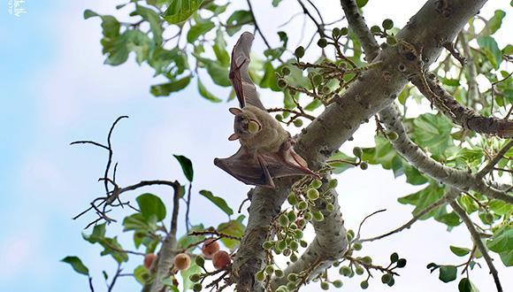עטלף תל אביבי (צילום: יובל ברקאי)
