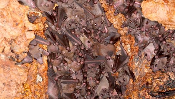 קבוצת עטלפי פירות רעשניים במושבה (צילום: ג'נס רידל)