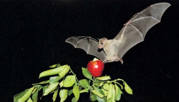 חקר העטלפים
