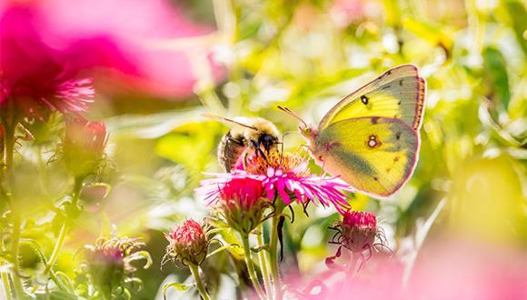 אפקט הפרפר של דבורת הדבש