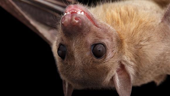 ניבים מחודדים: כיצד רוכשים העטלפים את שפתם?