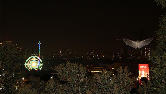 עטלף תל אביבי בפעולה. צילום: שטפן גרייף