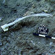 שומן בעלי חיים הקדום ביותר על כלי צור