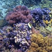 מחקר חדש חושף: קרם הגנה מזיק לשוניות האלמוגים